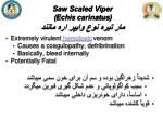 saw scaled viper echis carinatus3