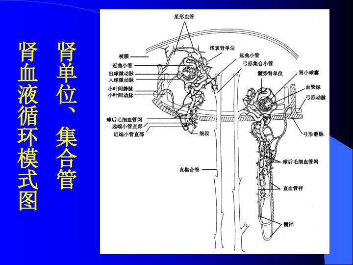 肾单位、集合管