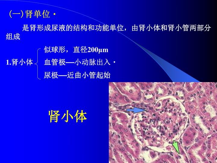 (一)肾单位