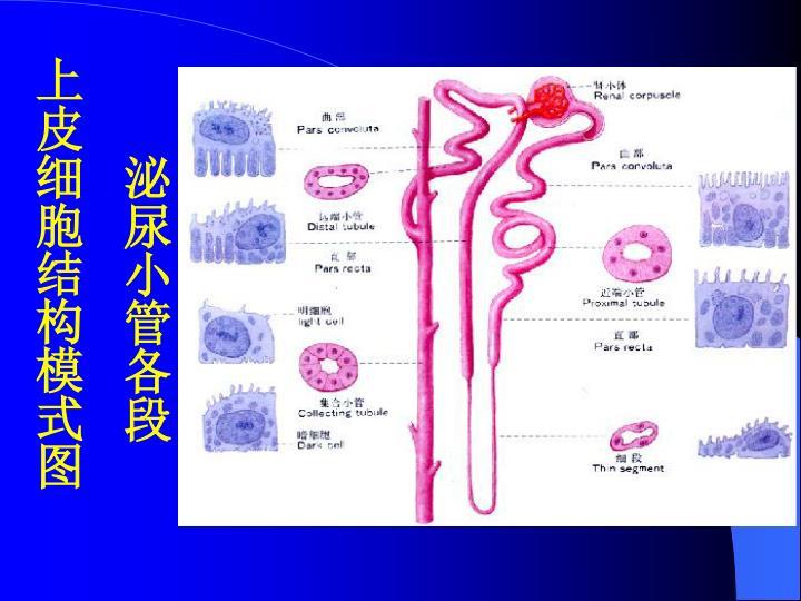 泌尿小管各段