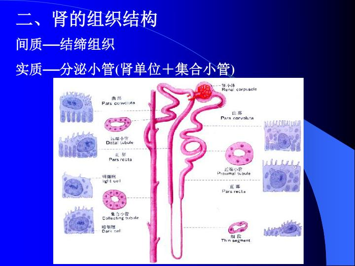 二、肾的组织结构