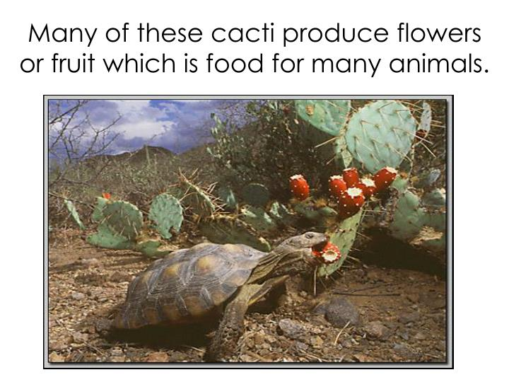 Many of these cacti produce flowers or fruit which is food for many animals.