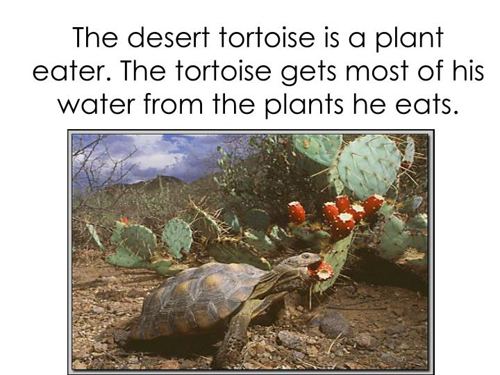 The desert tortoise is a plant eater. The tortoise gets most of his water from the plants he eats.