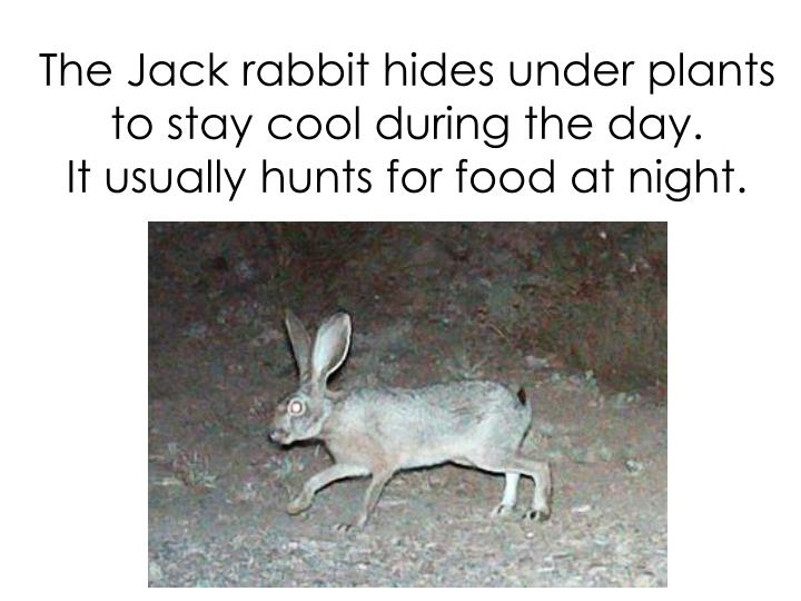 The Jack rabbit hides under plants to stay cool during the day.