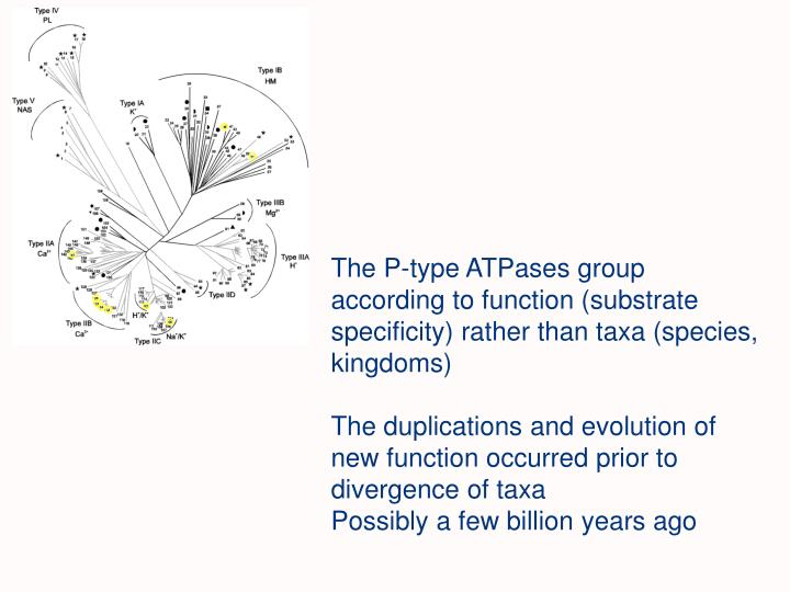 The P-type ATPases group according to function (substrate specificity) rather than taxa (species, kingdoms)