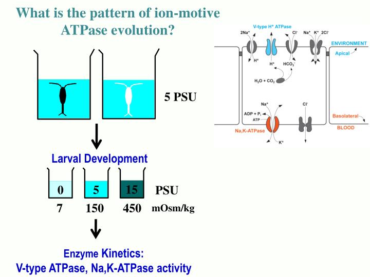 What is the pattern of ion-motive ATPase evolution?