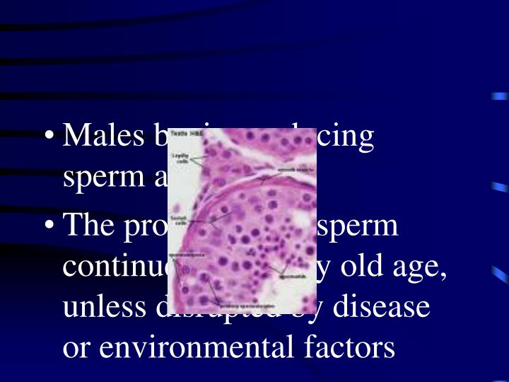 Males begin producing sperm at puberty