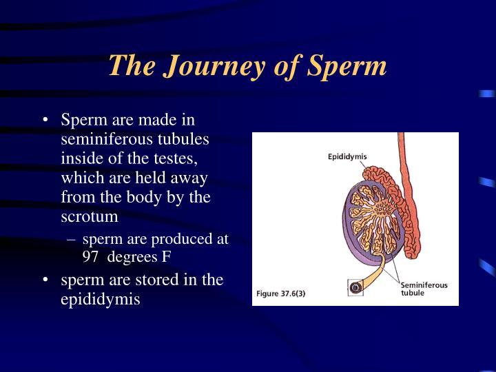 The Journey of Sperm