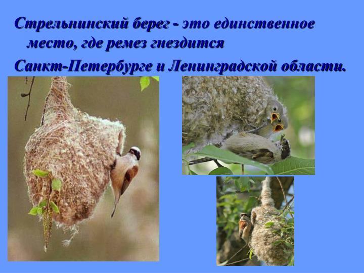 Стрельнинский берег - это единственное место, где ремез гнездится