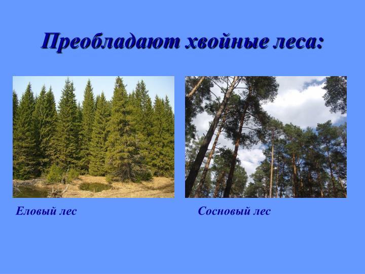 Преобладают хвойные леса: