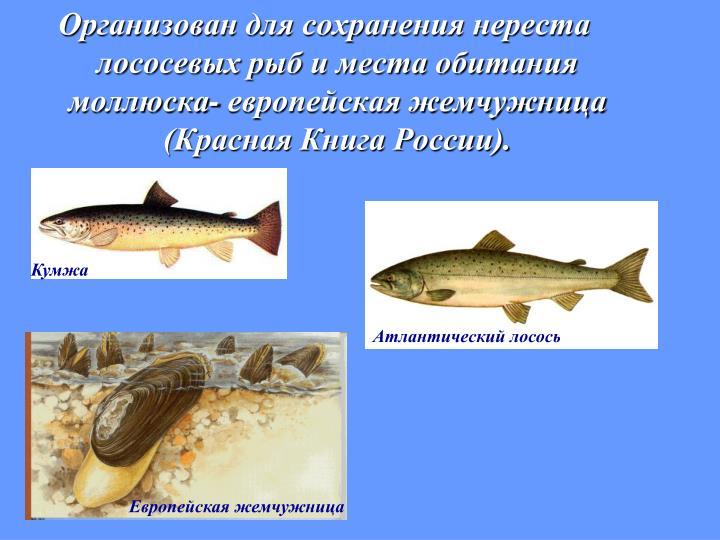Организован для сохранения нереста лососевых рыб и места обитания моллюска- европейская жемчужница (Красная Книга России).