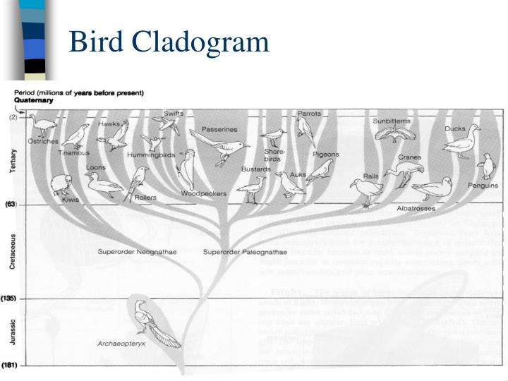 Bird Cladogram