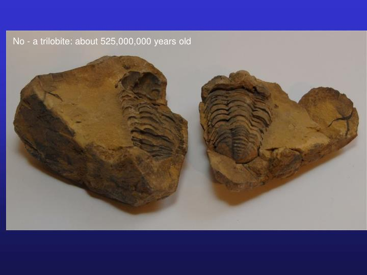 No - a trilobite: about 525,000,000 years old