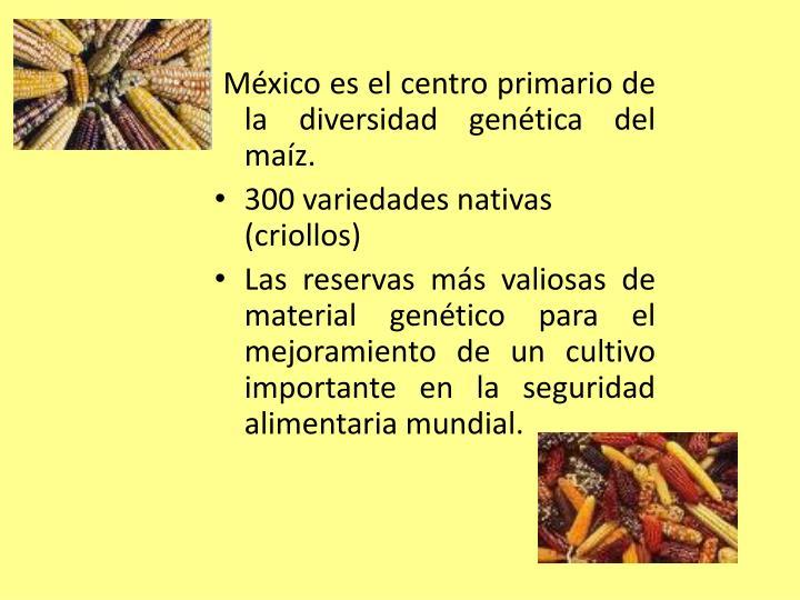 México es el centro primario de la diversidad genética del maíz.