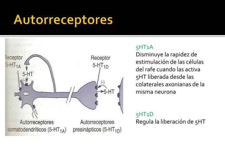 Autorreceptores