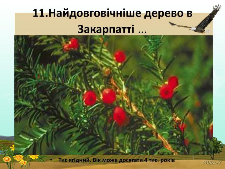 11.Найдовговічніше дерево в Закарпатті