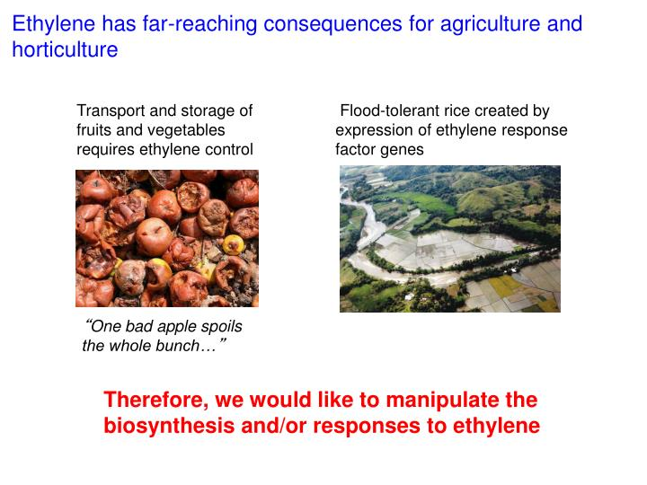 Ethylene has far-reaching consequences for agriculture and horticulture