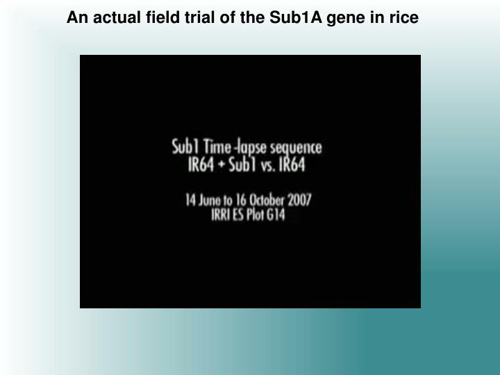 An actual field trial of the Sub1A gene in rice