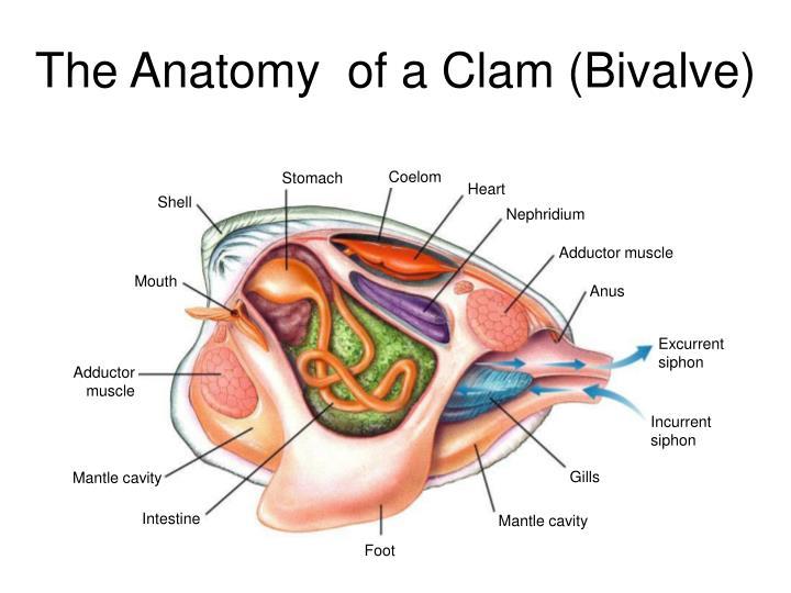 Beautiful Anatomy Of A Razor Clam Motif - Anatomy And Physiology ...
