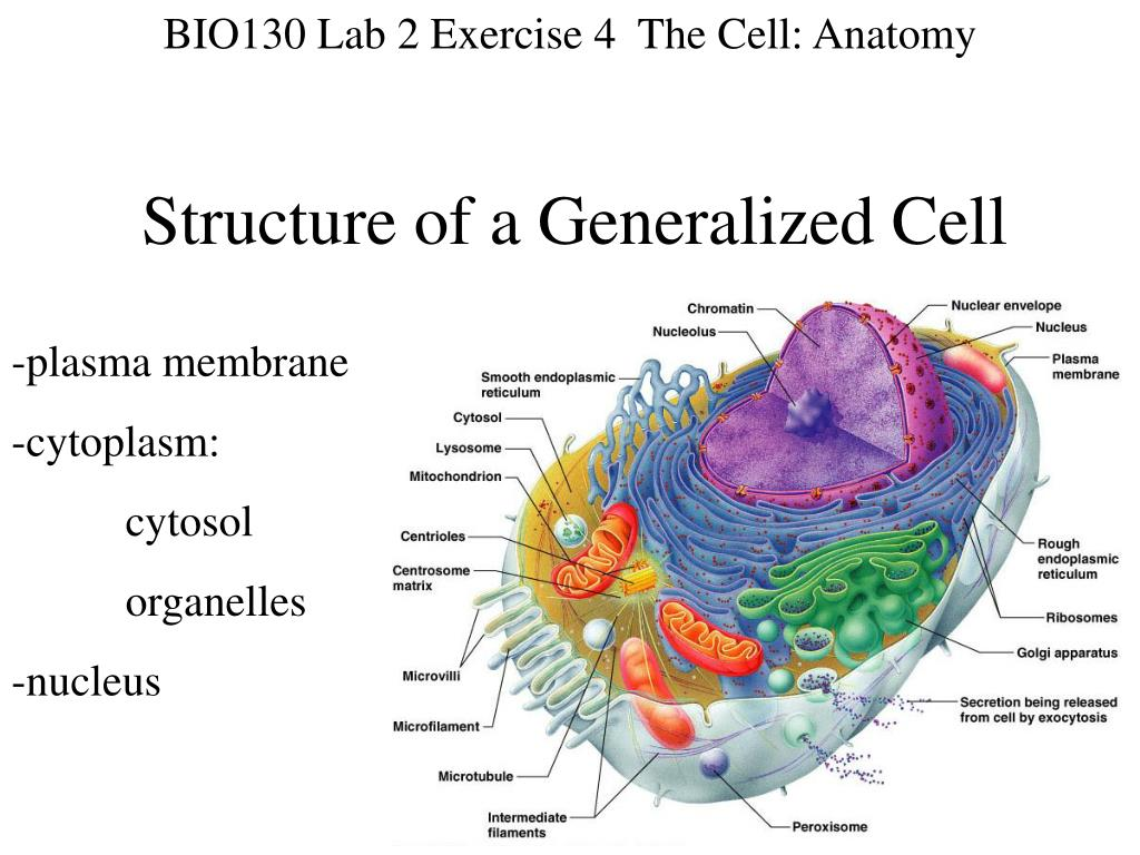 Ppt Structure Of A Generalized Cell Powerpoint Presentation Id