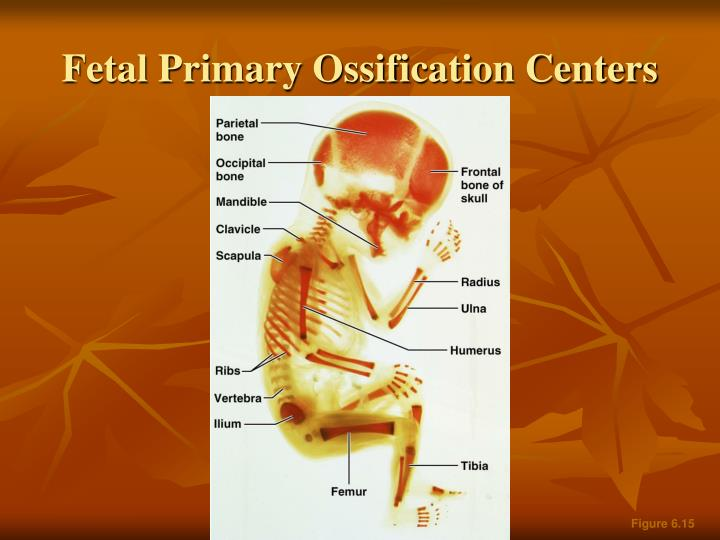 Fetal Primary Ossification Centers