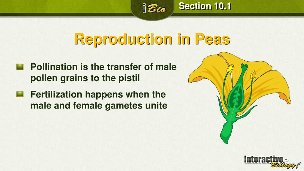 in peas both male and female sex cells are called in Goulburn