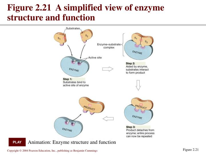 an analysis of structure of the enzyme The concepts underlying their analysis of enzyme kinetics continue to provide the cornerstone for understanding metabolism today, and for the development and clinical use of drugs aimed at selectively altering rate constants and interfering with the progress of disease states.