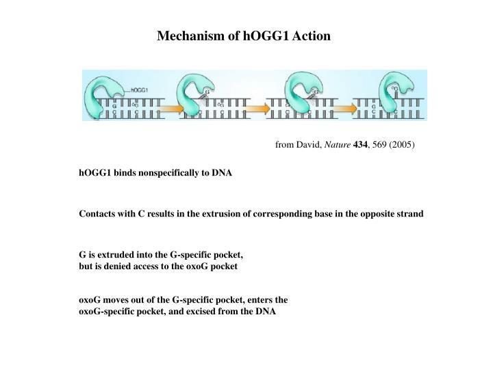 Mechanism of hOGG1 Action