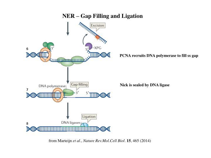 NER – Gap Filling and Ligation