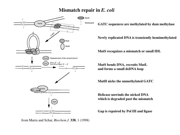 Mismatch repair in