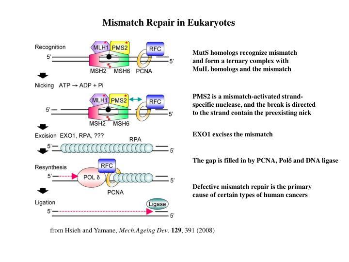 Mismatch Repair in Eukaryotes