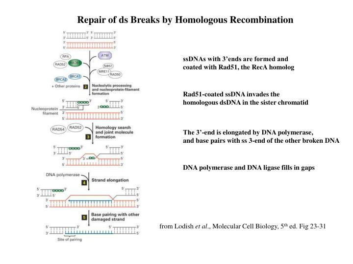 Repair of ds Breaks by Homologous Recombination