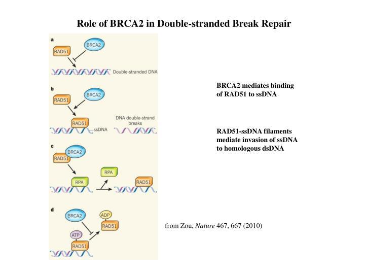Role of BRCA2 in Double-stranded Break Repair