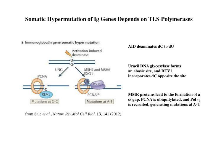 Somatic Hypermutation of Ig Genes Depends on TLS Polymerases