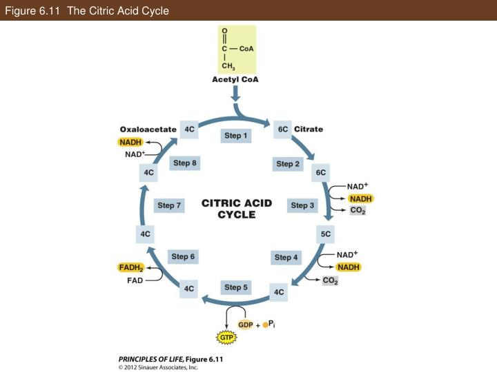 Figure 6.11  The Citric Acid Cycle