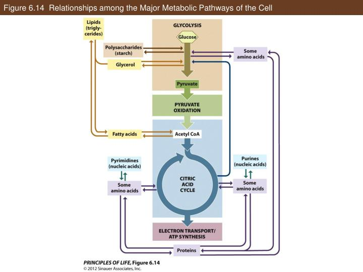 Figure 6.14  Relationships among the Major Metabolic Pathways of the Cell