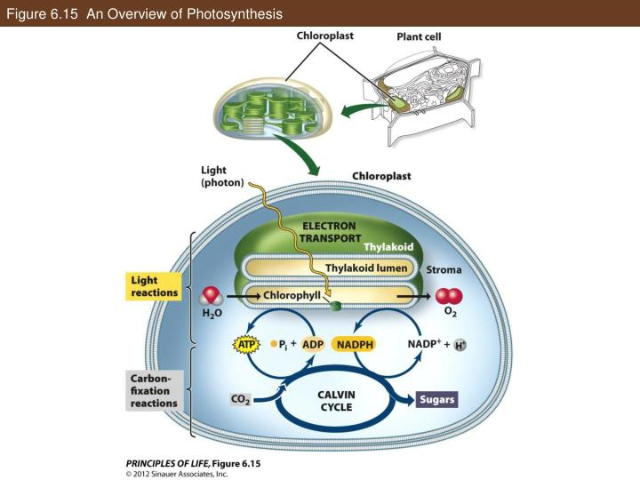 Figure 6.15  An Overview of Photosynthesis