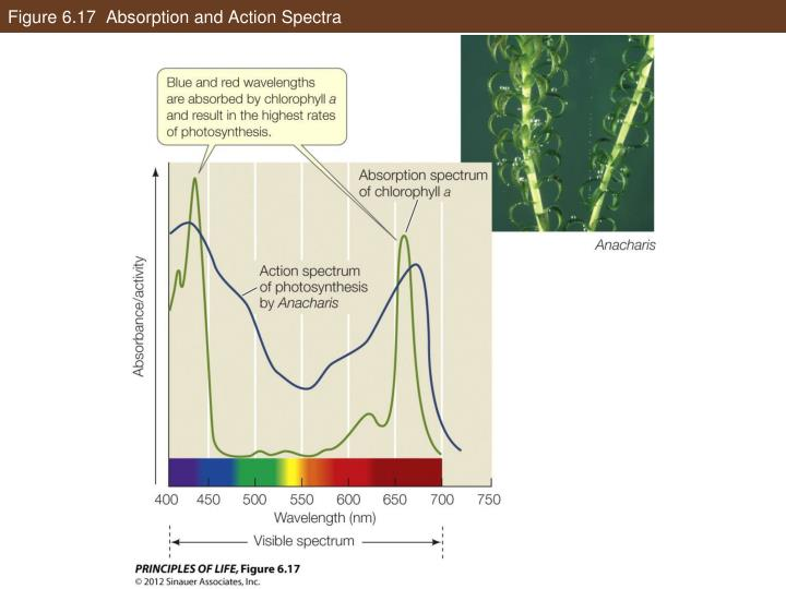 Figure 6.17  Absorption and Action Spectra