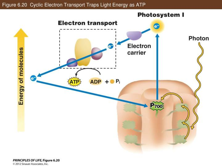 Figure 6.20  Cyclic Electron Transport Traps Light Energy as ATP