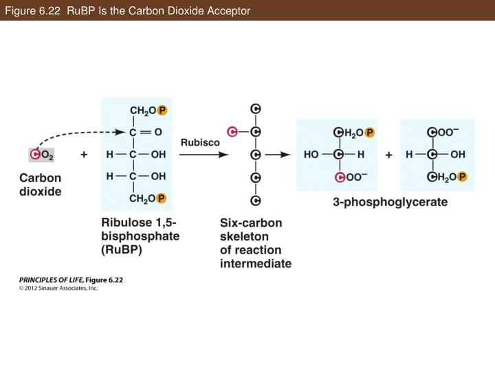 Figure 6.22  RuBP Is the Carbon Dioxide Acceptor