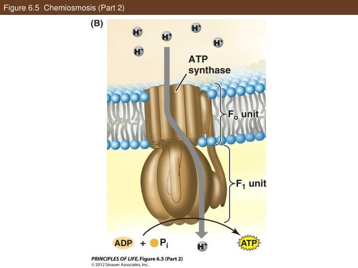Figure 6.5  Chemiosmosis (Part 2)