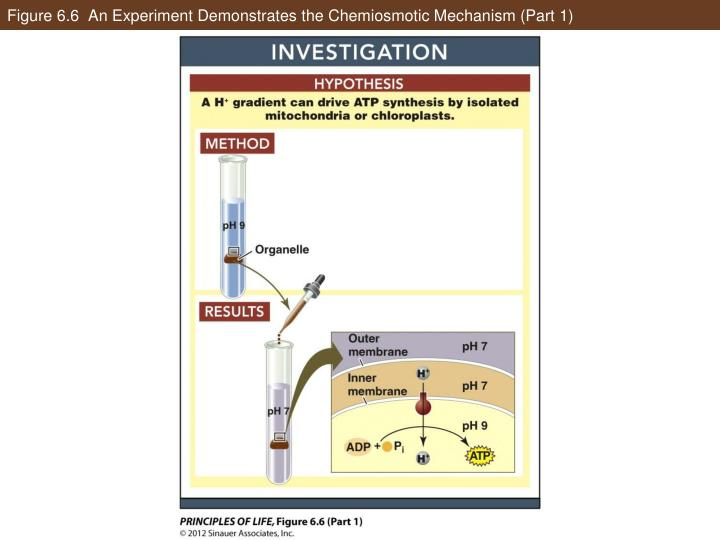 Figure 6.6  An Experiment Demonstrates the Chemiosmotic Mechanism (Part 1)