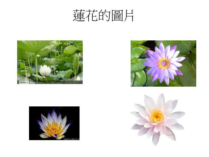 蓮花的圖片