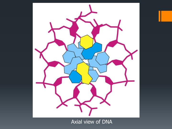 Axial view of DNA