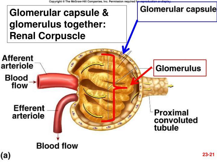 Glomerular capsule & glomerulus together: Renal Corpuscle