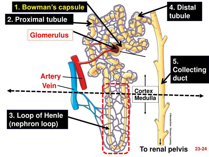 1. Bowman's capsule