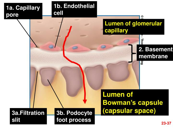 1b. Endothelial
