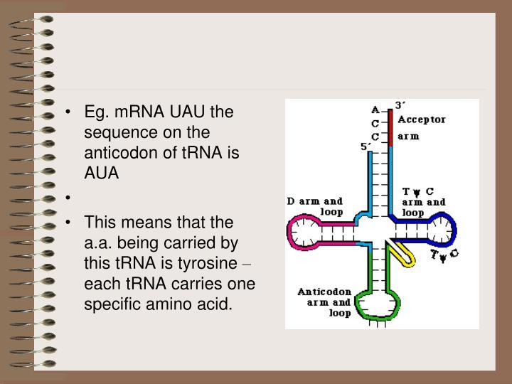 Eg. mRNA UAU the sequence on the anticodon of tRNA is AUA