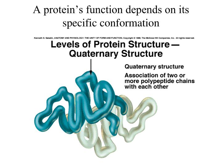 A protein's function depends on its specific conformation