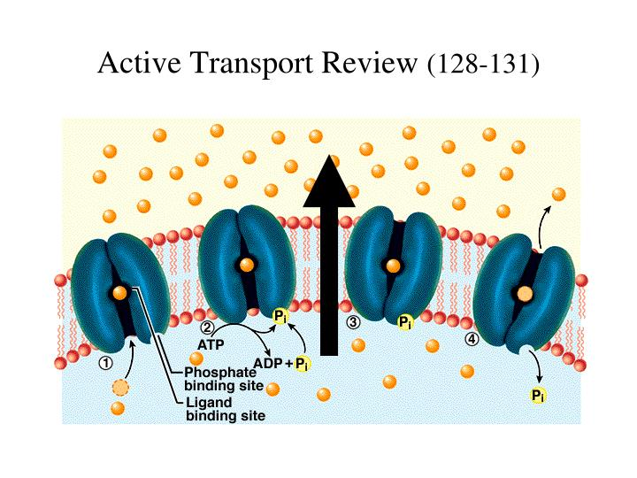 Active Transport Review